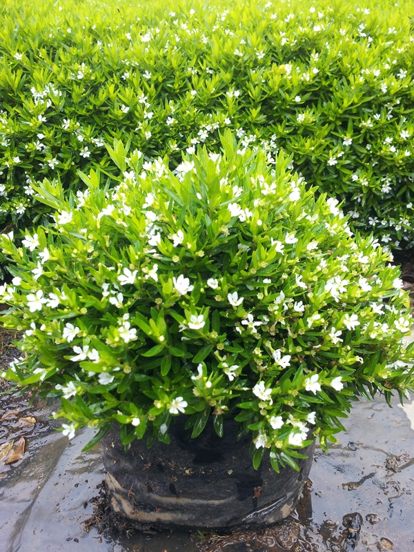 Cuphea hybrid dwarf mexicana compact spreading white groundcover Confetti Carpet